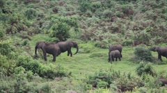 Forest elephants Stock Footage