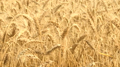 Ripe wheat stalks ready for harvest - stock footage