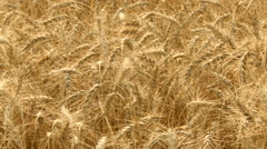 Ripe wheat stalks ready for harvest Stock Footage