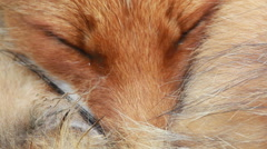 Sleeping Red fox close up Stock Footage
