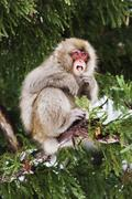 Japanese Macaque in Tree, Eating Twigs - stock photo
