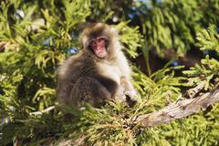 Japanese Macaque in Tree - stock photo