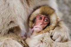 Japanese Macaque Nursing Baby - stock photo