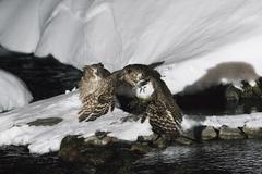 Blakiston's Fish Owls, Rausu, Hokkaido, Japan - stock photo
