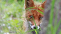 Red fox close up Stock Footage