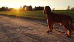 Dog looking forward in the evening, road, calm atmosphere, panning Stock Footage