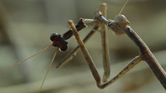 Mantis female eats male after mating 1 Stock Footage