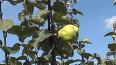 Yellow juicy quince fruit. Quince Orchard. Stock Footage