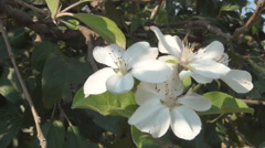 Close up apple tree flowers blossom. Agriculture. Farmland. Stock Footage
