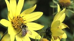 Bee Pollination on Yellow Sunflower 3 - stock footage