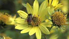 Bee Pollination on Yellow Sunflower 2 Stock Footage