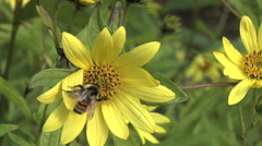 Stock Video Footage of Bee Pollination on Yellow Sunflower 1