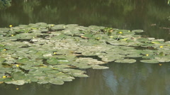 Group of yellow water lilys on the lake. Wild nature. Stock Footage