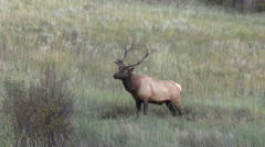 Stock Video Footage of Bull  Elk in rut