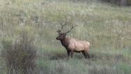 Stock Video Footage of Bull  Elk in rut
