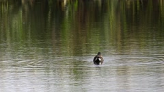 Wildlife Single solitary water bird swimming water Moorhen Arkistovideo