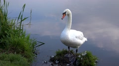 Wildlife Single solitary water bird close up of white Swan Stock Footage