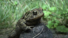 Toad on a Rock Stock Footage