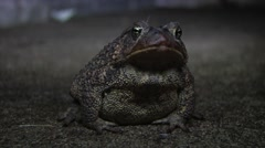 Steady Filmed shot of  Minnesota Toad at night Stock Footage