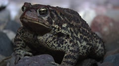 Night time shot of Minnesota Toad - stock footage