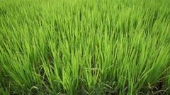 Rice Field slider shoot Stock Footage