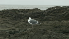 Western gull on a rock Stock Footage