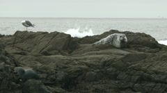 Western sea gull and harbor seals on the rock Stock Footage