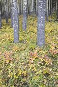 Aspen Grove and Forest Floor, Banff National Park, Alberta, Canada Stock Photos