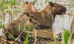 Baby Capybara in Brazilian Pantanal (Side view). Hydrochoerus hydrochaeris Stock Photos