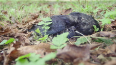 Bird Carcass 4K {decomposing} Stock Footage
