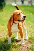Beagle on meadow - pedigree dog Stock Photos