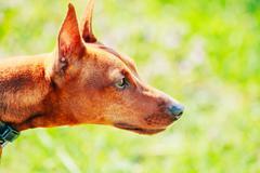 close up brown dog miniature pinscher head - stock photo