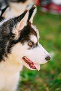 Close up young husky puppy eskimo dog Stock Photos