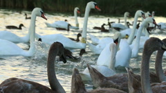 Many white swans  on the lake Stock Footage