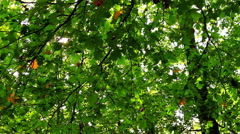Beautiful, harmonious forest detail, with sycamore maple leaves Stock Footage