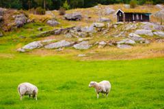 Sheeps on pasture. norway landscape Stock Photos