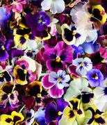 Stock Photo of flower pansy