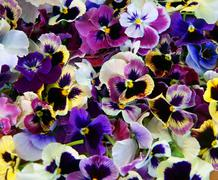 flower pansy - stock photo