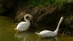 4K Uhd white swans feeding at bankside of a lake Stock Footage