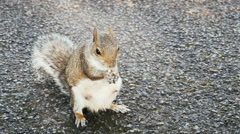 Squirrel standing and eating Stock Footage