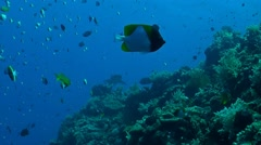 Whitetip reef shark swims along a coral reef Stock Footage