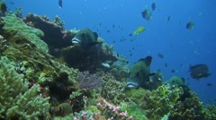 Harlequin sweetlips on a sloping reef Stock Footage