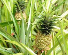 Stock Photo of pineapple plant