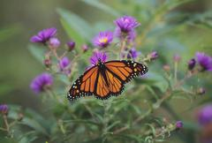 Stock Photo of Close-up of Monarch Butterfly