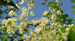 Wild bees in flowers from angelica tree 1220 Stock Footage