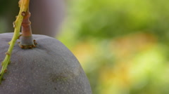 Close up of mango fruit hanging at branch Stock Footage