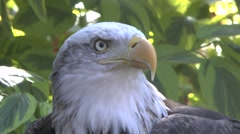 American / Alaskan Bald Eagle Bird Of Prey Stock Footage
