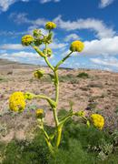 Ferula lancerottensis - Canarian giant fennel - stock photo