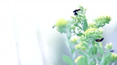 Two Yellow And Black Lichen Moths In Their Element - stock footage