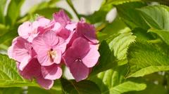 Pink Hydrangea flower, 4k Stock Footage